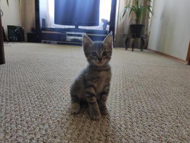 Животные - Тынчтык: Продаю котят.Девочки.К лотку приучены, очень игривыеТОЛЬКО В ХОРОШИЕ