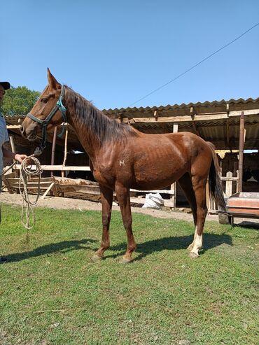 10927 объявлений: Лошади, кони