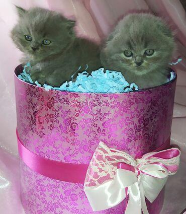 597 объявлений: Шотландские котята .Город Бишкек и Ош