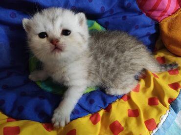 Коты - Азербайджан: Котятки шотландцы родились 13февраля. Открыта бронь все вопросы по