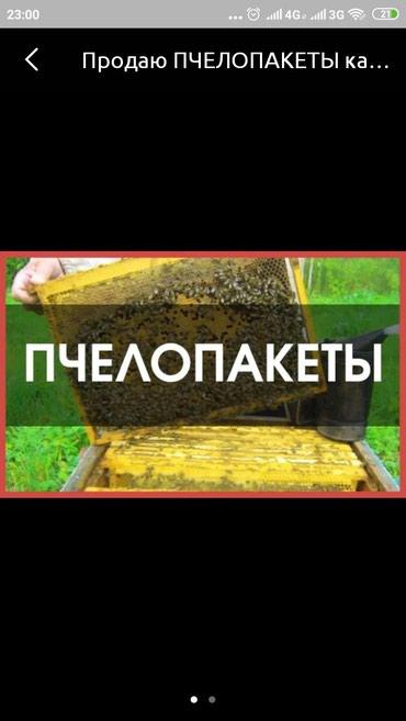 Зоотовары - Кок-Ой: Продаю ПЧЕЛОПАКЕТЫ карпатка  город.Бишкек.4 расплод