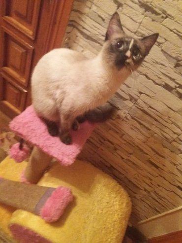Bakı şəhərində отдам кошку в добрые любищие руки. ангорка смешанная с сиамской. 7-8 м