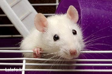 Крысы в Кыргызстан: Крыса.Продаю декоративных крыс