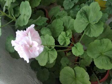 цветущую герань в Кыргызстан: Герань бело-розового цвета. Молодое растение. Начало цвести, много