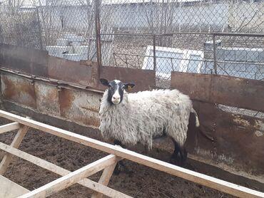 Продаю | Овца (самка) | Романовская | Для разведения | Племенные