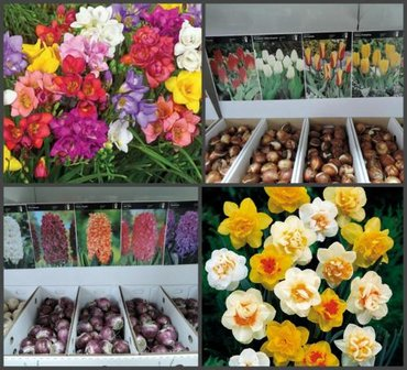 тюльпаны бишкек in Кыргызстан   ДРУГОЙ ДОМАШНИЙ ДЕКОР: В наличии есть луковичные растения -