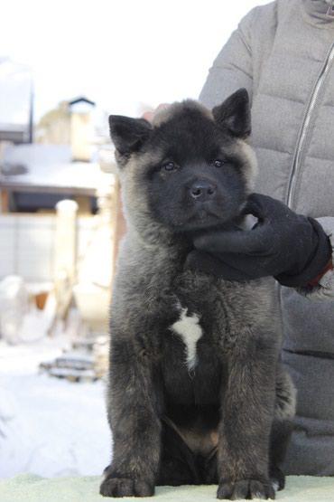 Продается высокопородный щенок в Лебединовка