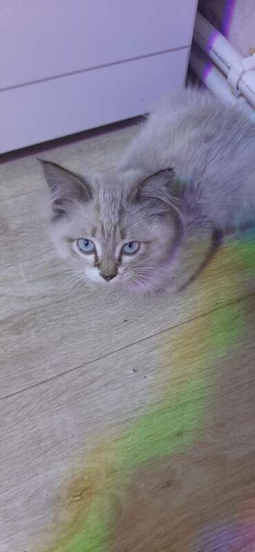 Сиямская котята