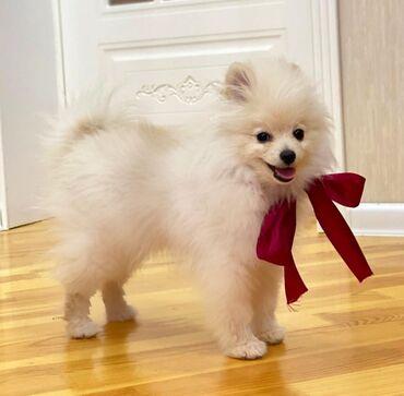 Pomeranian Shpits boo(karlik) SATILiR! Tecili! 4 ayliqdi, Erkekdi!