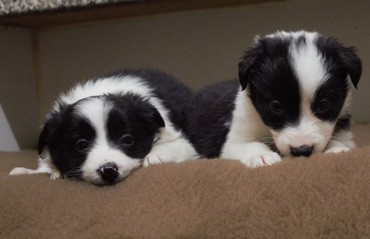 Pure Bred Border Collie Pups σε Athens