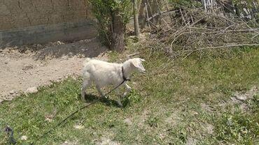Животные - Баткен: Сут багытындагы эчкилер Сатылат Баткенде