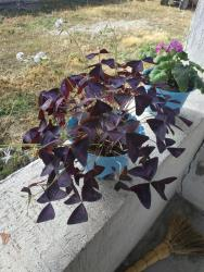 "цветок для офиса в Кыргызстан: Цветок ""Бабочки"""