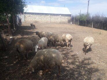 qoyunlar - Azərbaycan: 6 baş qoyun 2 baş quzu erkey dişi hamisi qoca getmis qoyunlardi