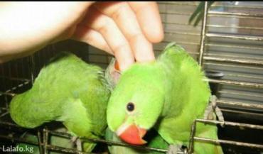 Ожиреловые молодые попугаи в Кок-Ой