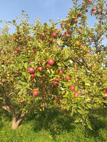 17 объявлений: Прод-ся яблоко