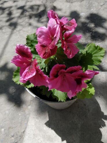 цветущую герань в Кыргызстан: Герань