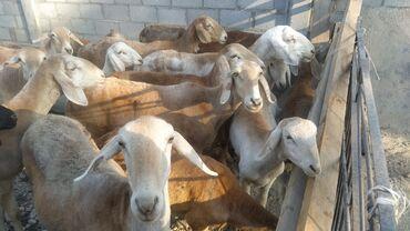 9677 объявлений: Продаю   Овца (самка), Баран (самец)
