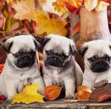 Για σκύλους - Αθήνα: Pug puppies available Potty trained, vaccinated and wormed, both