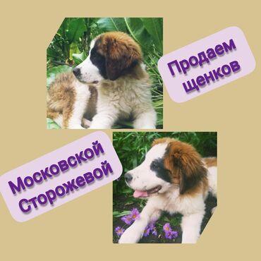 Продаем щенков Московской сторожевой!!! Возраст - 5 месяцевОстались