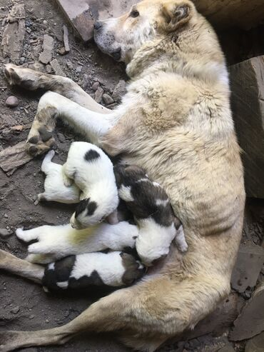Животные - Талас: Щенки алабай родился 3 Июля 2021  Который на фотке мать и отец