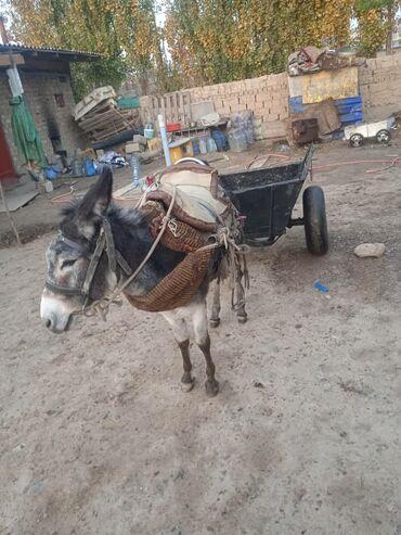 тянь ма телевизор пульт in Кыргызстан   ТЕЛЕВИЗОРЫ: Срочно продаю эшек
