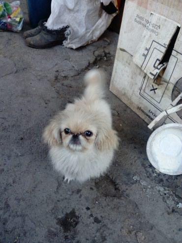 Продаю щенка пикинеса 8 месяцев 5.000 сом в Сокулук