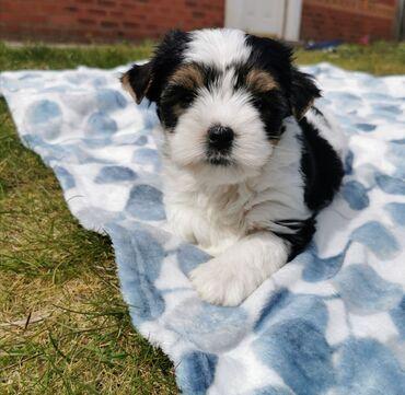 Yorkshire Terrier μωρά έτοιμα τώραWhatsapp (+)Το Forest Minions