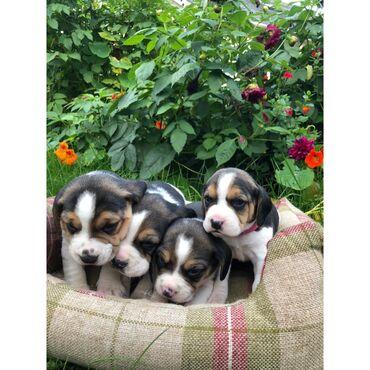 Χαριτωμένα κουτάβια Beagles προς πώλησηΈχουμε χαριτωμένα κουτάβια