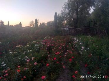 Продаю корни розы оптом и в розницу цена договорная в Сокулук