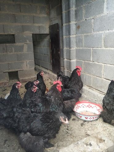 яйца-брама-цена в Кыргызстан: Продаю яйца из под черных кокинхинов