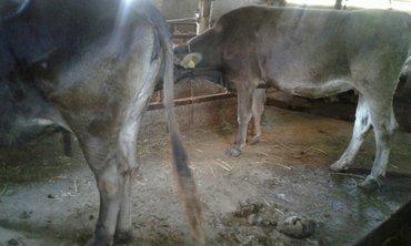 Продаю две стельные коровы 2-3ий отёлы будет в ноябре порода швитц  и  в Лебединовка