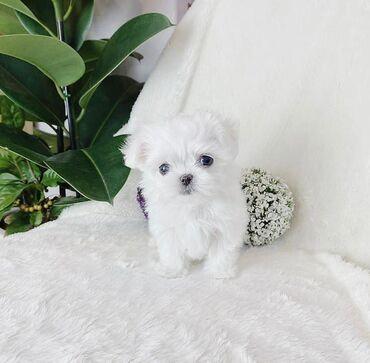 Πώληση λευκά Μαλτέζικα κουτάβιαemail valenmanella6@gmail.comΕίναι