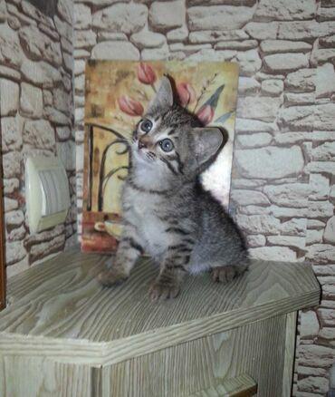 Pişiklər - Azərbaycan: Девочка,родилась 4 Марта,мать Породистая. Котёнку 1 месяц и 1 неделя