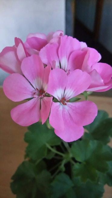 Пеларгония насыщенно-розовая, в Бишкек