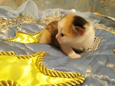 Продается котенок девочка от в Бишкек