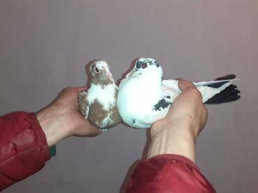 Животные - Нарын: Продаю старопородных бакинских голубей разных мастей шейки печатные