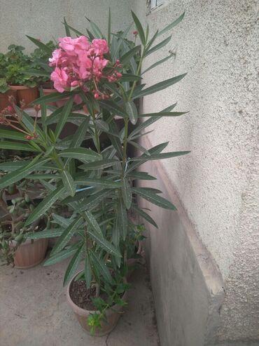 Все для дома и сада в Кок-Ой: Алиандра высота чуть больше метра за 1000 сомов окончательно самовывоз