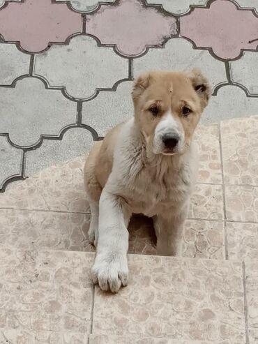 собаки сколько стоит в Кыргызстан: 1 на фото) родился 04.02.21.3 месяца. С документами 2 фото) Родился