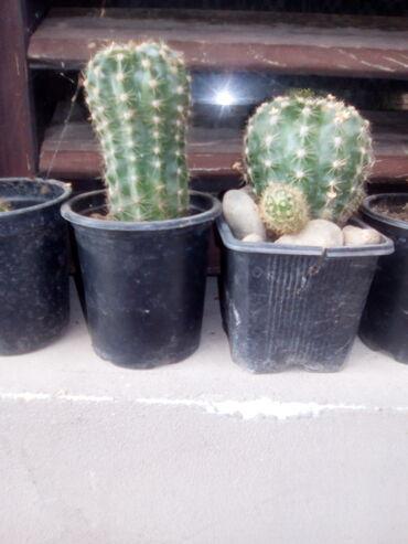 Ljiljan - Jagodina: Kaktusi