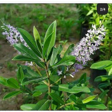 Otaq bitkiləri Xırdalanda: Xebe satılır