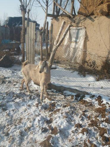 buick le sabre 3 8 at в Кыргызстан: Продаю нубийскую казу малочной направление котная первый акот 3 месяца
