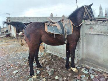 Животные - Кыргызстан: Продаю | Конь (самец) | Конный спорт | Осеменитель