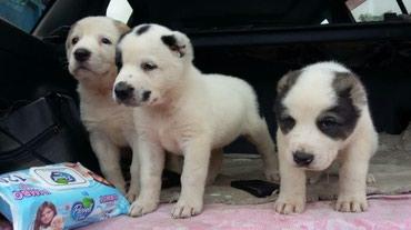Продаются щенки алабая (САО), в Бишкек