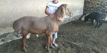 Животные - Токтогул: Продаю | Баран (самец) | Арашан | Для разведения | Осеменитель