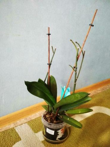 Продаю орхидею, скоро будет цвести. в Бишкек