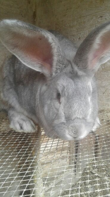 Кролы! 2 самки (матки) и 1 самец крол. У самок мешаная порода (фландер