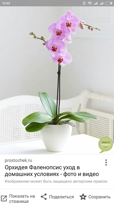 Орхидея фалинопсис в Бишкек - фото 2