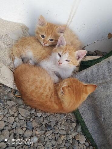 597 объявлений: !!!!Спешите!!!!Остались только 3 котят, очень умные, игривые, кушают