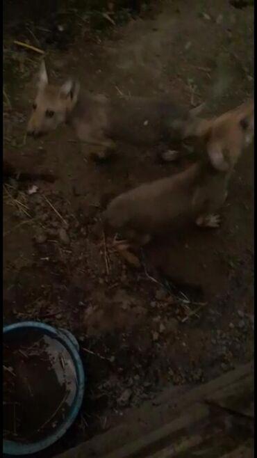Другие животные в Кара-Суу: Волчата. Болтуруктор