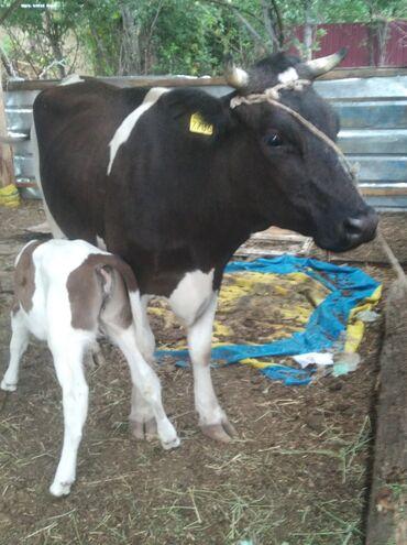 Животные - Заречное: Продаю корова голштин перво телка с телкой .Прошу с. телкой 85 т сом